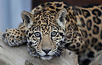 Santo, a six-month old jaguar, plays in his enclosure at the Animal Ark in Reno, Nev., on Friday, March 30, 2012. The wildlife sanctuary opens for its 31st season on Saturday..Photo by Cathleen Allison