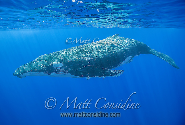 The dappled light creates intricate patterns on the back of this huge female humpback whale as she basks near the surface. (Photo by Underwater Photographer Matt Considine)