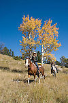 Couple in the great outdoors horseback riding on a crisp and cool fall morning amid aspen groves high in the Rocky Mountains, near Estes Park, Colorado, USA