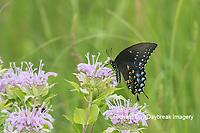 03029-01517 Spicebush Swallowtail (Papilio troilus) on Wild Bergamot (Monarda fistulosa) Marion Co. IL