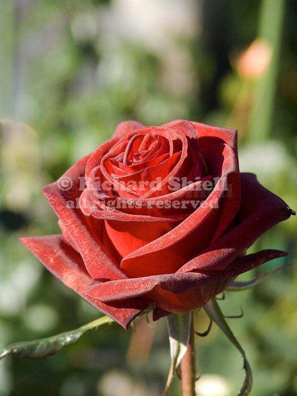 Black Magic Rose, Rosa hybrid tea