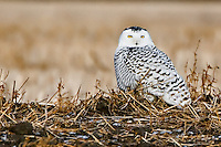 Female Snowy Owl sitting on a hill in a stuble field.. 2083x1389