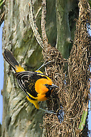 561820060 a wild adult altimara oriole icterus gularis perches on its pendulus hanging nest on a succulent plant in tamaulipas state mexico