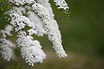 white flowers on a bush in a garden outside Oslo, Norway