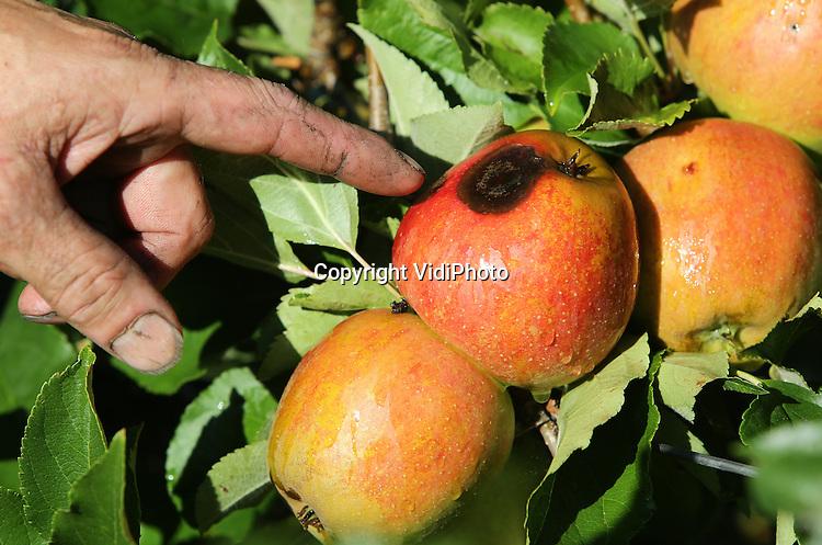 Foto: VidiPhoto<br /> <br /> DODEWAARD - Om te voorkomen dat appels letterlijk verbranden (foto) en beginnen te koken aan de bomen, gaat bij fruitteler Thomas de Vree uit Dodewaard dezer dagen de beregeningsinstallatie aan. Felle zon, tropische temperaturen en nauwelijks wind is funest voor de appels zo vlak voor de oogst. De temperatuur van de vrucht kan dan oplopen tot 60 graden Celsius en dat is funest. Vooral de donker gekleurde rassen als Wellant , Elstar en Jonagold zijn zeer gevoelig voor zonnebrand. Fruittelers verwachten een topoogst dit jaar en alleen het weer kan nog roet in het eten gooien. De Vree doet er dan ook alles aan om dat te voorkomen. De pompinstallatie draait bij deze temperaturen zo'n 5 uur per dag. Door de flinke regenval van de afgelopen weken is er voldoende watervoorraad in de sloten voor de 7,5 ha fruit van de teler uit Dodewaard. Tegelijkertijd draaien ook de druppelaars onder de bomen op volle toeren om voor voldoende vocht te zorgen, zo'n 3 mm per uur. De Vree gebruikt op dit moment zo'n 1000 kuub regenwater per dag.