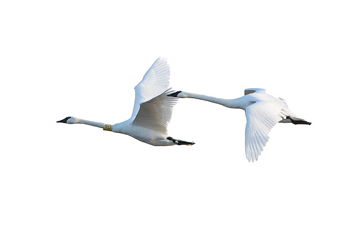 30000-00112 Trumpeter Swans in flight (Cygnus buccinator) on white background,  Marion Co., IL
