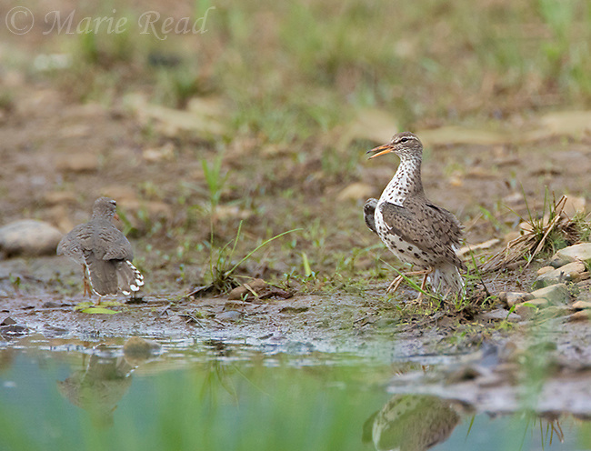 Spotted Sandpiper (Actitis macularia) female performing courtship display, Caroline, New York.