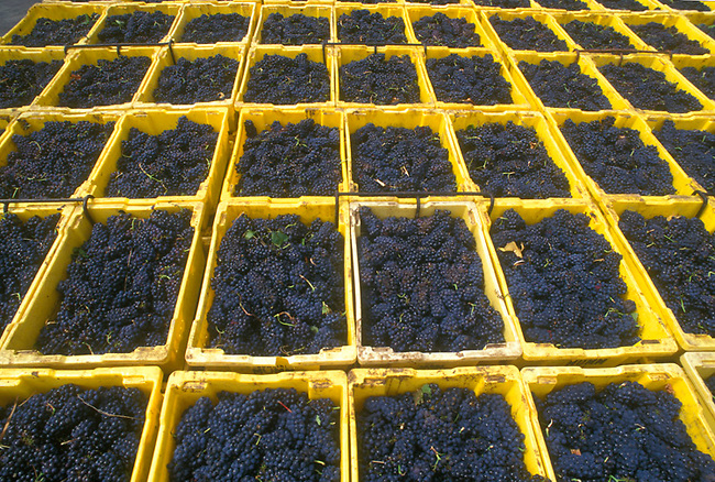 Pinot Noir grapes wait crushing in Napa Valley