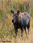 Moose calf in fall. Grand Teton National Park, Wyoming.