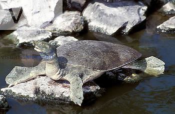 Spiny Softshell Turtle (Trionys spiniferus).