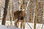 White-tailed doe standing deep within the northern forest.