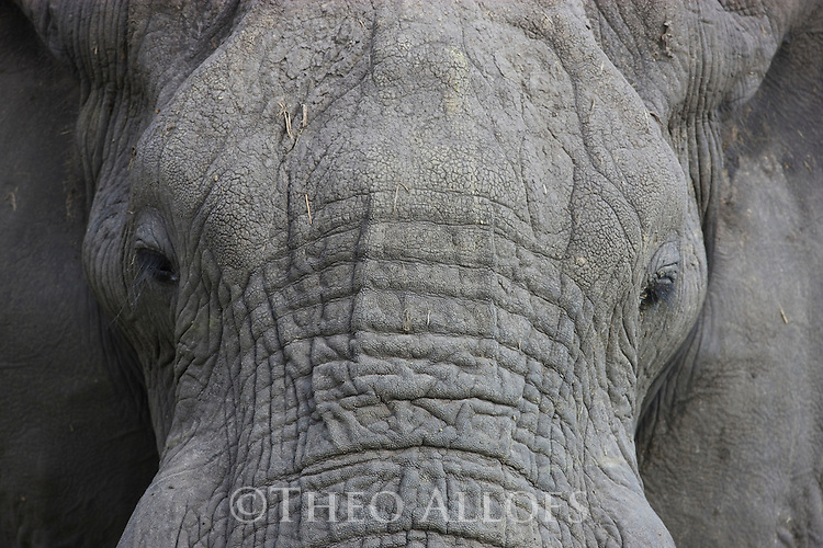 African elephant (Loxodonta africana), close-up of mud-covered head, Okavango Delta, Moremi Game Reserve, Botswana