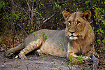 African Lion (Panthera leo) two year old male, Mudumu National Park, Namibia