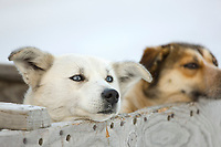 Sled dogs wait to get in the harness before the start of the 2008 All Alaska Sweepstakes commemorative 100 year dogsled race in Nome, Alaska.