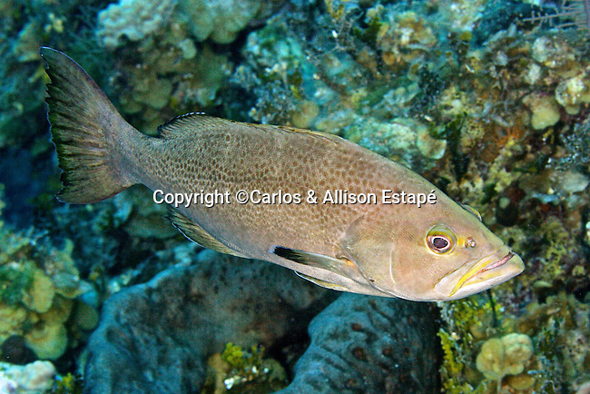 Mycteroperca interstitialis, Yellowmouth grouper, Bahamas