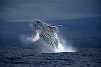A breaching humpback whale,  Megaptera novaeangliae, off the Big Island of Hawaii.