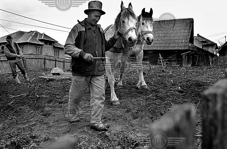 A man leads work horses through a field in Maramures.