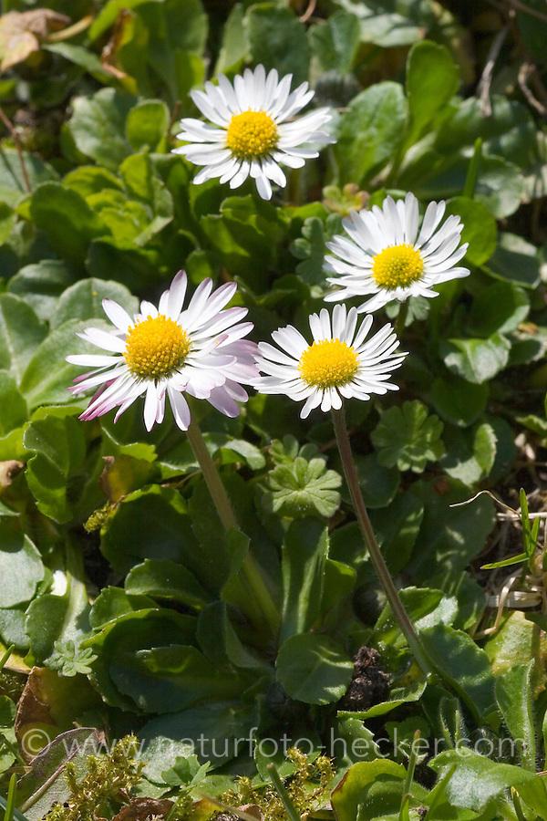 Gänseblümchen, Maßliebchen, Bellis perennis, English Daisy, Pâquerette