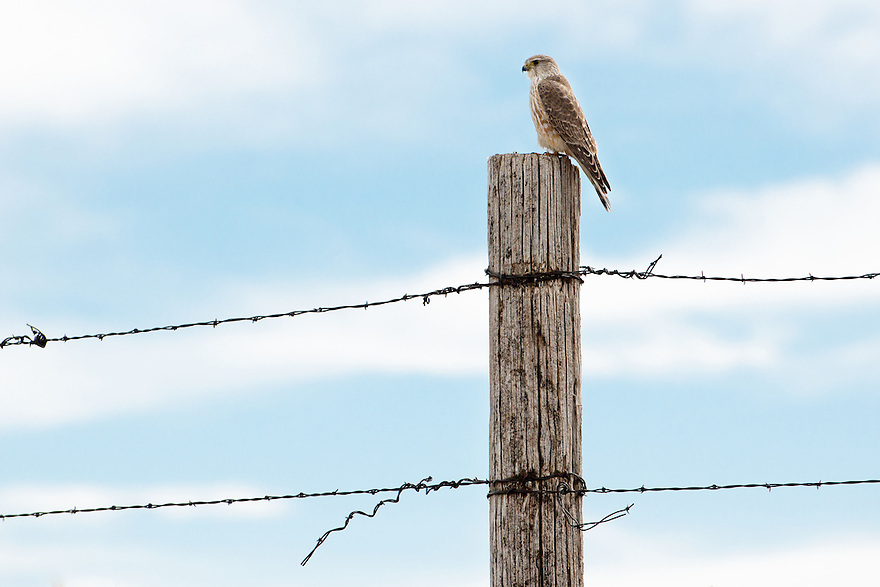 A merlin rests on a fencepost in Gallatin County, Montana.