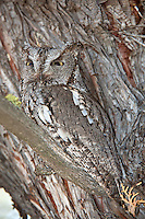 Western Screech Owl in Juniper Tree, Oregon