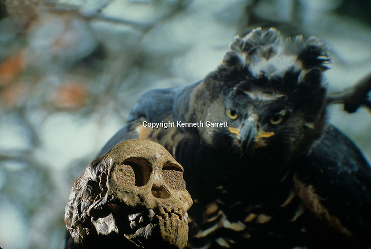 The Taung child skull with the image of a modern African crowned eagle, child might have been killed by a similar raptor, 2.5 million years old, South Africa, University of Witwatersrand.