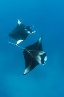 reef manta ray, Manta alfredi, Hanifaru Bay, Baa Atoll, Maldives, Indian Ocean
