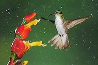 Andean Emerald (Amazilia franciae), adult feeding from flower during rain fall,Mindo, Ecuador, Andes, South America