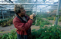 GERMANY Barum, organic potato farming at Ellenberg Bioland farm / DEUTSCHLAND Bioland Hof Ellenberg in Barum, Anbau von alten Kartoffelsorten und Erhalt der Sorte Linda, Landwirt Karsten Ellenberg im Gewaechshaus, wo er verschiedene Kartoffelsorten kreuzt