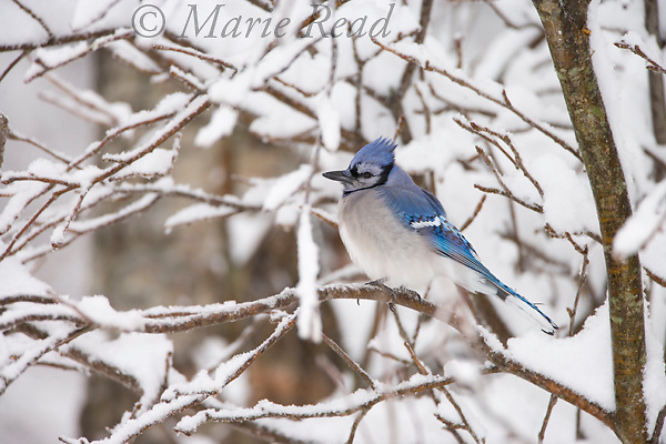 Blue Jay (Cyanocitta cristata) amid snow-covered branches, New York, USA