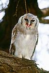 Verreaux's eagle-owl, Samburu National Reserve, Kenya