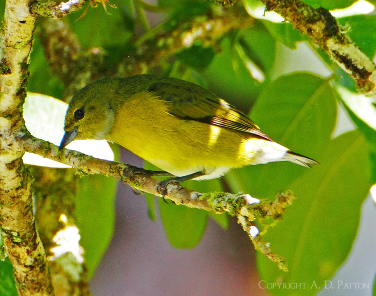 Juvenile black-and-yellow tanager