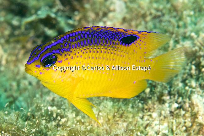 Stegastes diencaeus, Longfin damselfish, juvenile, Florida Keys