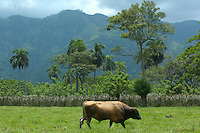 Ganado vacuno en Bonao, provincia Monseñor Nouel de Bonao. <br /> Monseñor Nouel, República Dominicana.<br /> 8 de mayo de 2010<br /> Foto: © Cesar De La Cruz