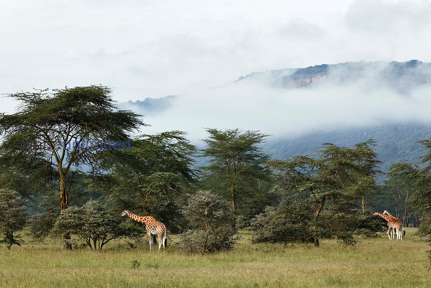 Rothchilds Giraffes feeding, Lake Nakuru National Park, Kenya