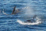 pilot whales at surface