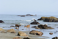 Black-tailed Deer (two 10 month old fawns--they are about ready to leave mom) walking along Olympic National Park beach.  Washington coast.