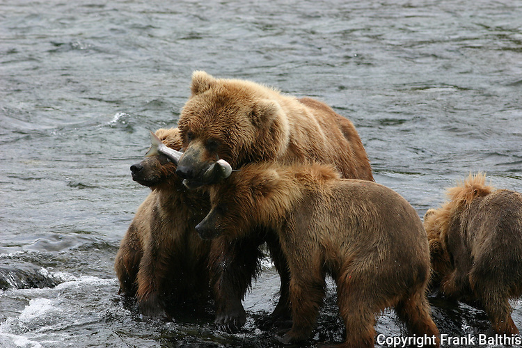 brown bear sow feeding salmon to cubs