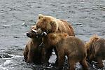 brown bear sow feeding salmon to cubs