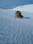 Grey Fox feeding in snowy landscape.