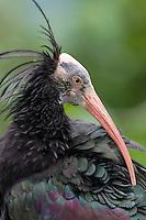 Bald Ibis - Geronticus eremita
