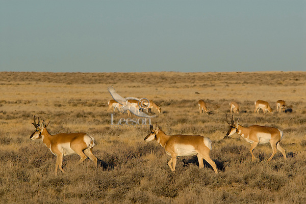 Pronghorn Antelope (Antilocapra americana) herd.  Western U.S., November.
