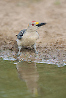 597900033 a wild male golden-fronted woodpecker melenerpes aurifrons drinks from a pond on dos venadas ranch in the rio grande valley of south texas