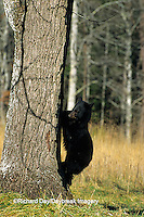 01872-00416 Black Bear (Ursus americanus) cub climbing tree Great Smoky Mountains National Park  TN