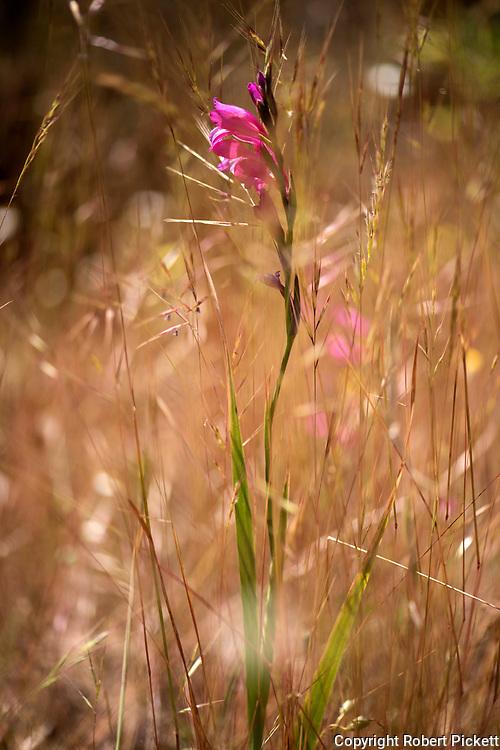 Wild Gladiolus, Gladiolus illyricus, Ria Formosa East, Algarve, flower meadow,