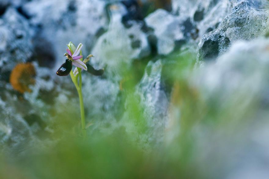 Orchid, Apulia; Gargano Peninsula; Italy; Ophrys