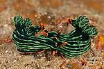 Nudibranchs (Nembrotha kubaryana)