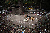 BULGARIA, Sofia, 2012/04/13..YA guard dog in an open parking in the center of Sofia, Bulgaria during a vaccination operation and injection ID chip..BULGARIE, Sofia, 2012/04/13..Un chien de garde d'un parking ouvert dans le centre de Sofia, Bulgarie lors d'une opération de vaccination et d'injection de puce d'identification..© Pierre Marsaut