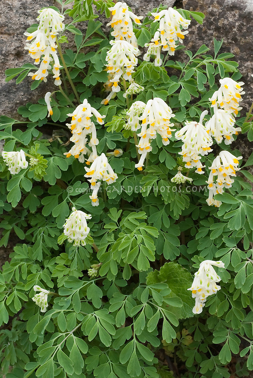 Corydalis ochroleuca in flower