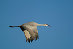 Sandhill Crane in flight, blue sky in background, Bosque Del Apache National Wildlife Refuge, New Mexico, USA, December 18, 2007.  Photo by Gus Curtis.