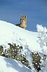 Alert Grey Fox on snow covered ridge.